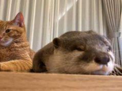 Amicizia gatto lontra (Foto Instagram)