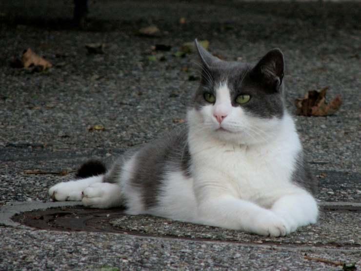 Poliuria e polidipsia nel gatto