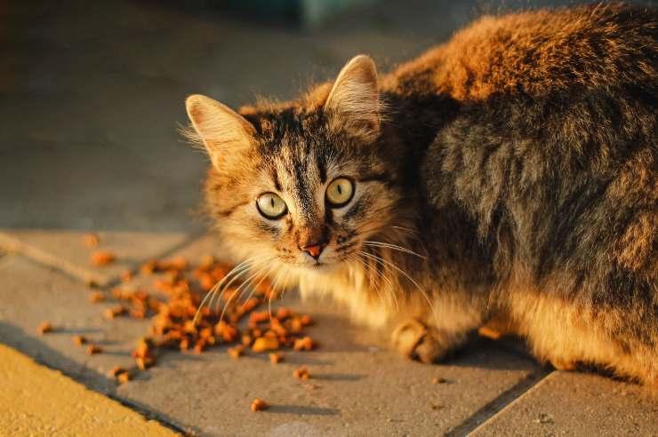 Il gatto può mangiare i pomodori verdi