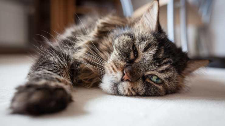 astenia cutanea gatto