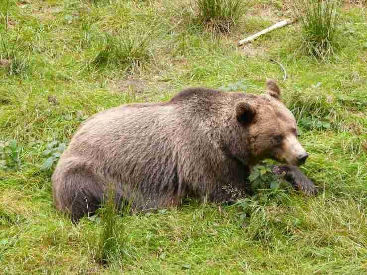 Cosa mangia l'orso