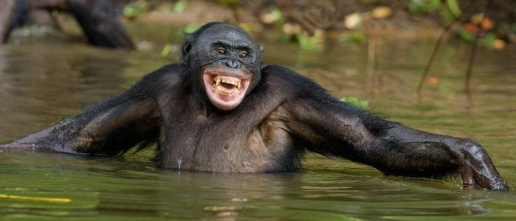 bonobo sorridente