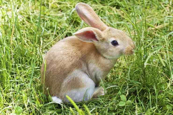 Alopecia nel coniglio