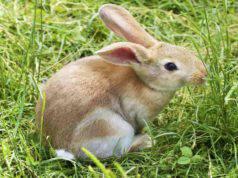 Il coniglio e la perdita di pelo