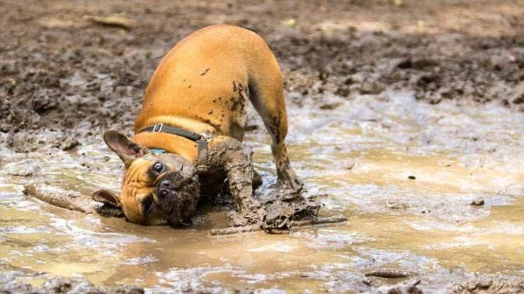 cane con il muso nel fango