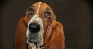 cane evita contatto visivo