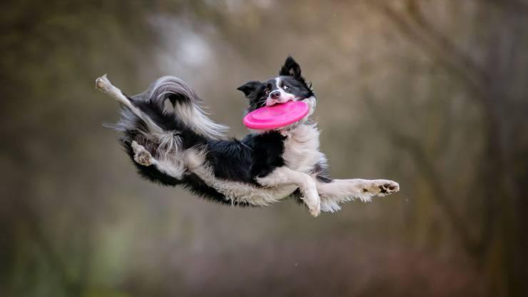 cane gioca a disc dog
