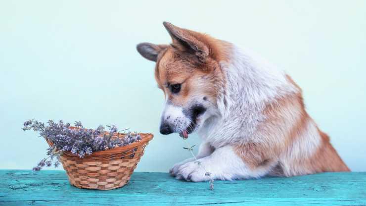 cane può mangiare timo