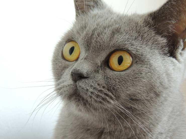 Gatti con la faccia tonda