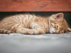 Il felino e il linfoma cutaneo