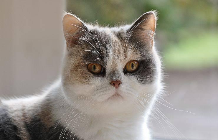 Gatto con viso tondo