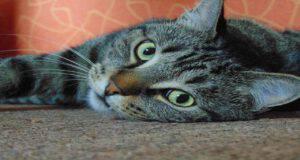 Fissare il gatto negli occhi
