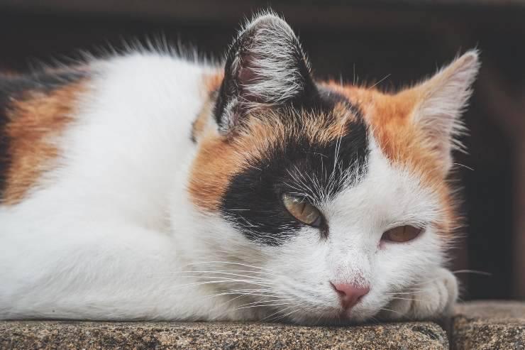 Rinotracheite nel gatto adulto