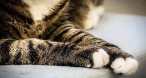 Il gatto perde le unghie