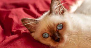 Sindrome di nudità nel gatto