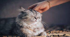 Il felino e gli acari nelle orecchie