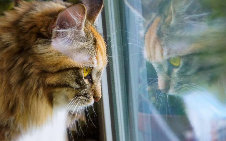 Distimia nel gatto