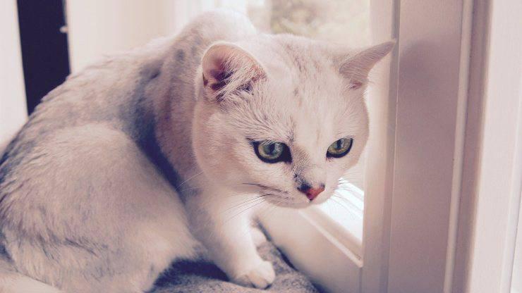 Il gatto si gonfia