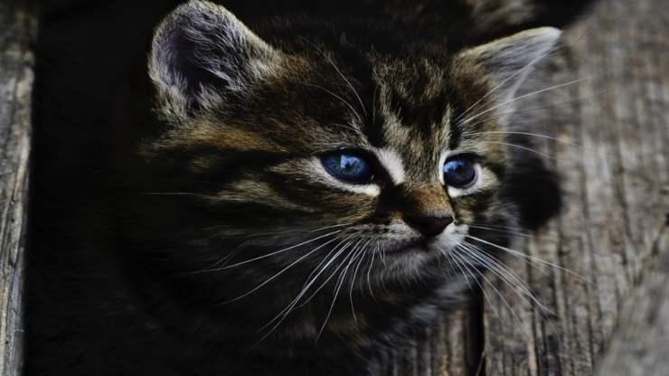 Sguardo del micio (Foto Pixabay)
