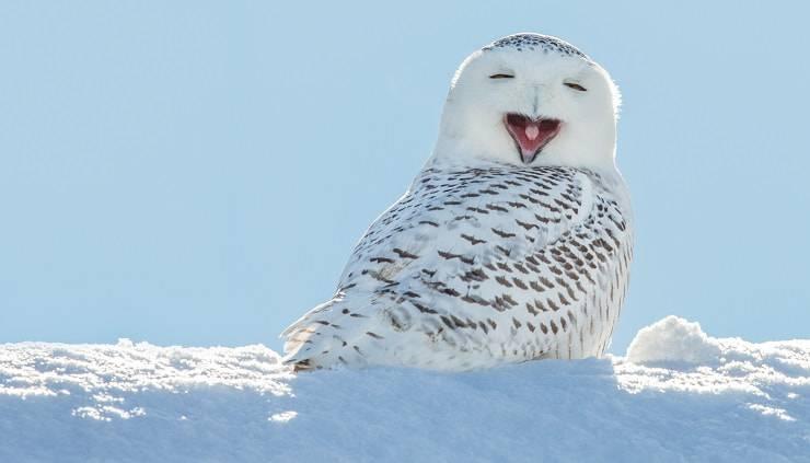 gufo delle nevi sorridente