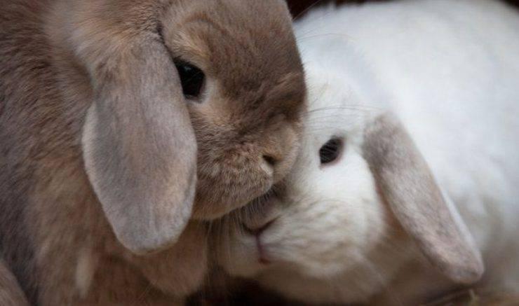 coccole tra conigli
