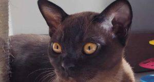 cura gatto Burmese