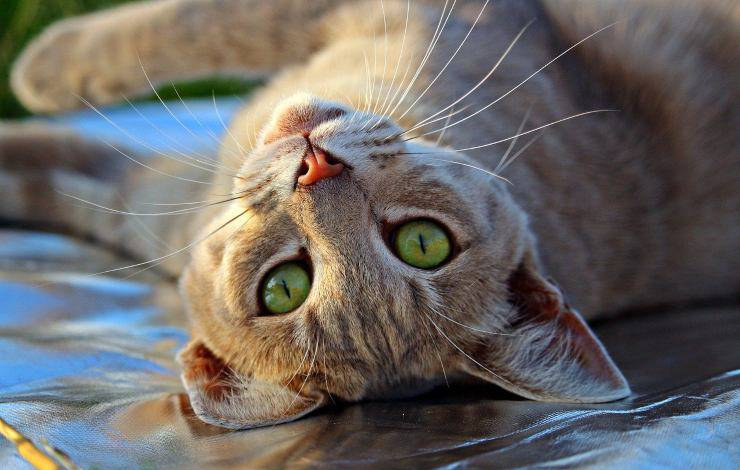 cura del gatto