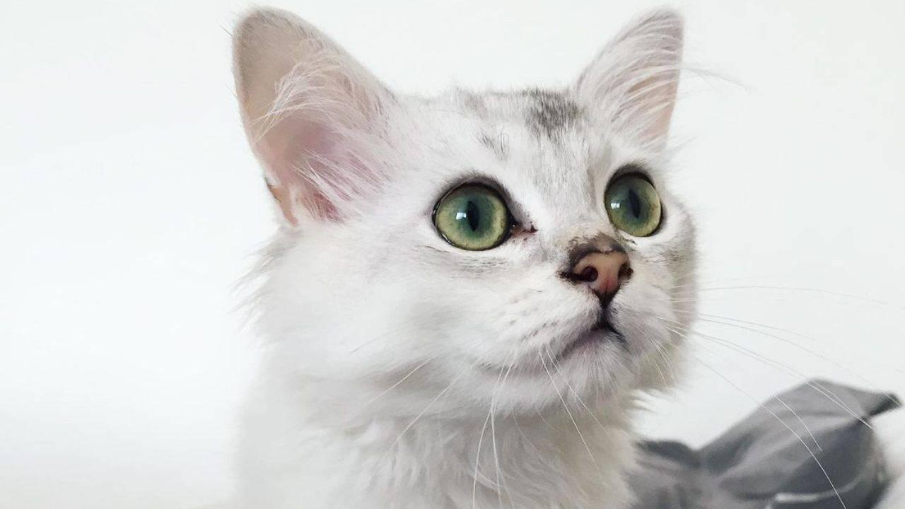 curiosità burmilla longhair
