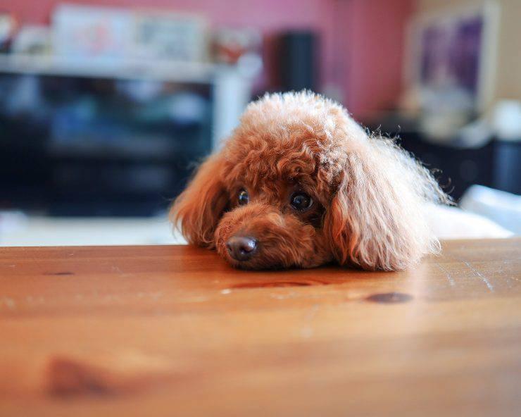 Il cane può mangiare il kefir