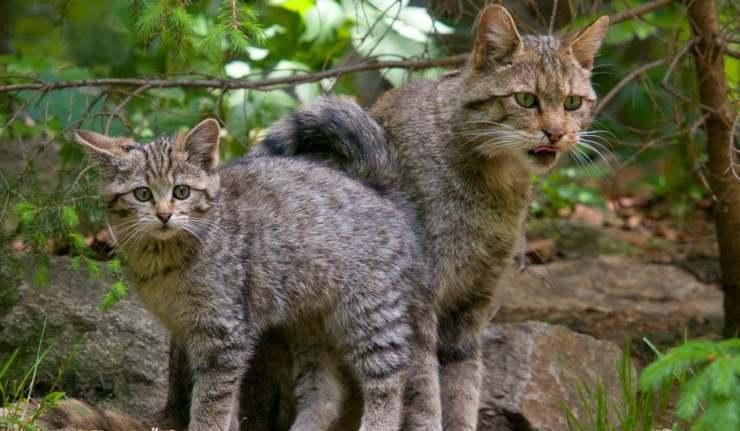 due gatti in natura