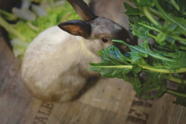 Coniglio dietro verdura