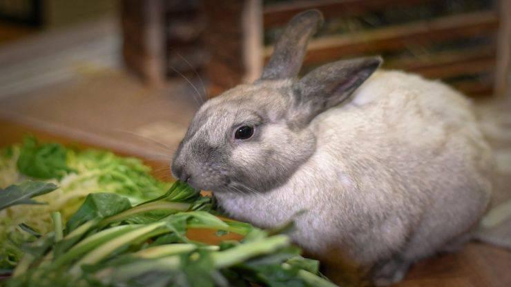 Blocco intestinale nel coniglio