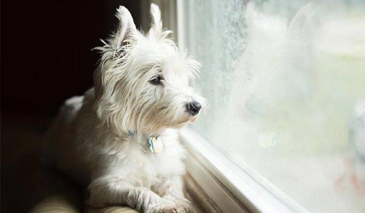 fibrosi polmonare nel West Highland White Terrier