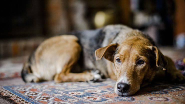 fibrosi polmonare nel cane