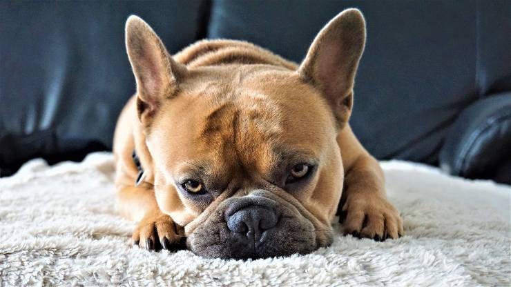 Cane riposa sul tappeto