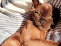 gatto burmese