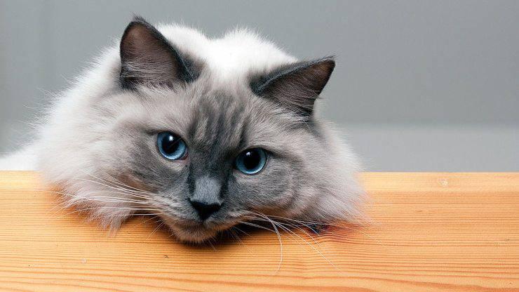gatto colourpoint