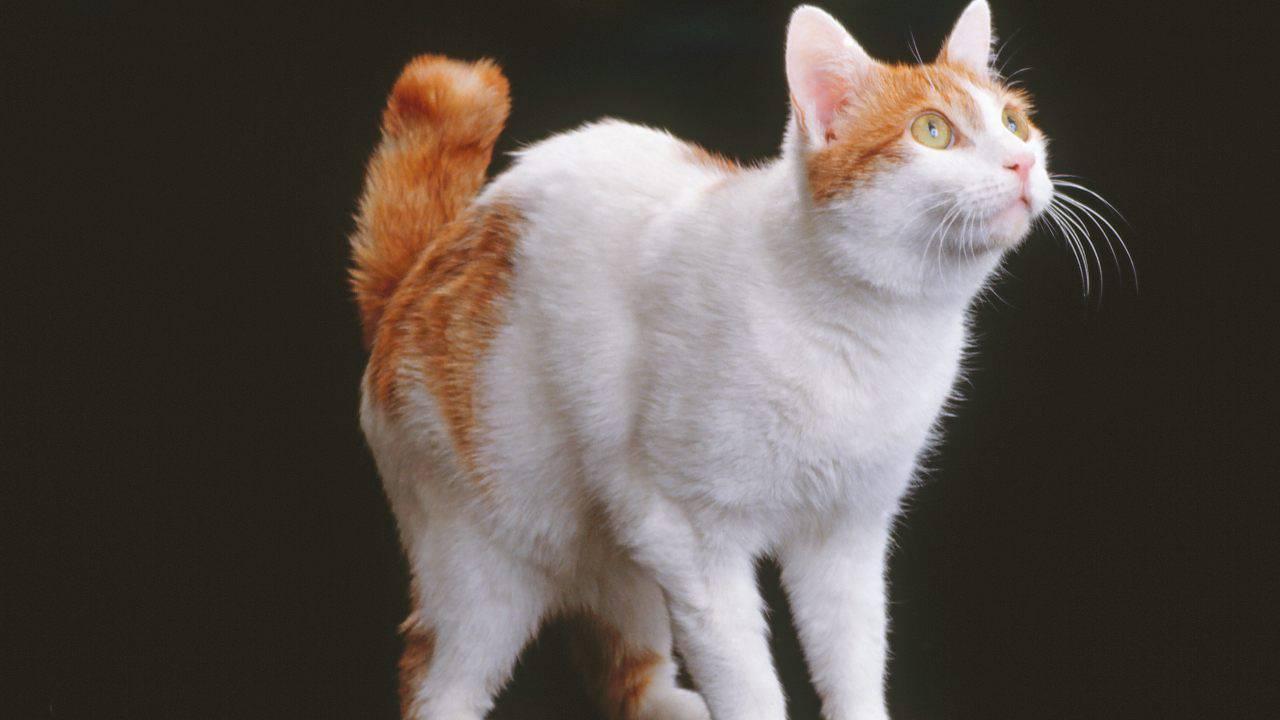gatto cultura giapponese