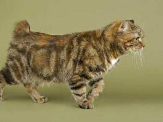 gatto cymric