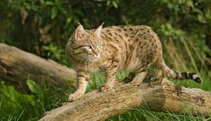 gatto selvatico asiatico
