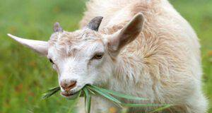 La dieta della capra