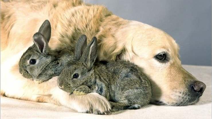 golden e conigli