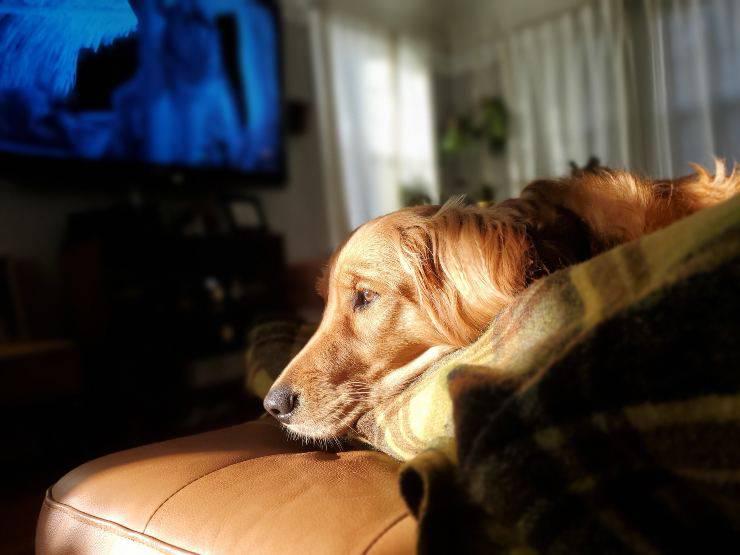 Cane guarda altri cani nella tv