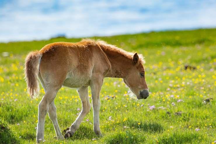 Gastrite nel cavallo