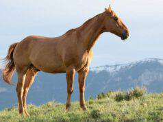 Il cavallo sfodera