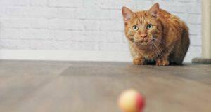 i gatti capiscono la permanenza dell oggetto