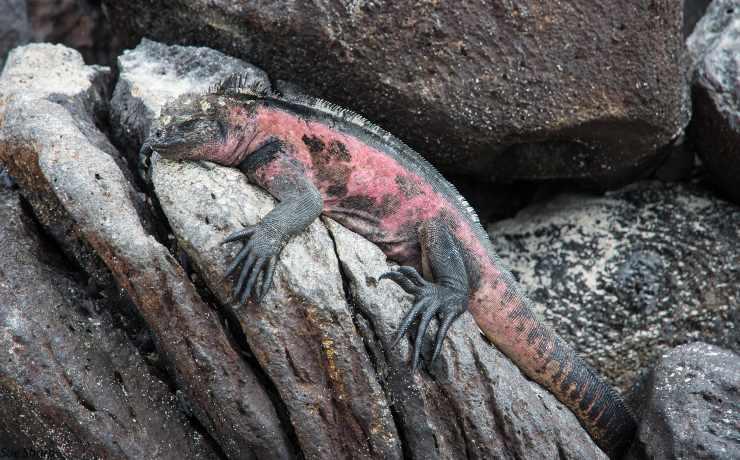 iguana rosa