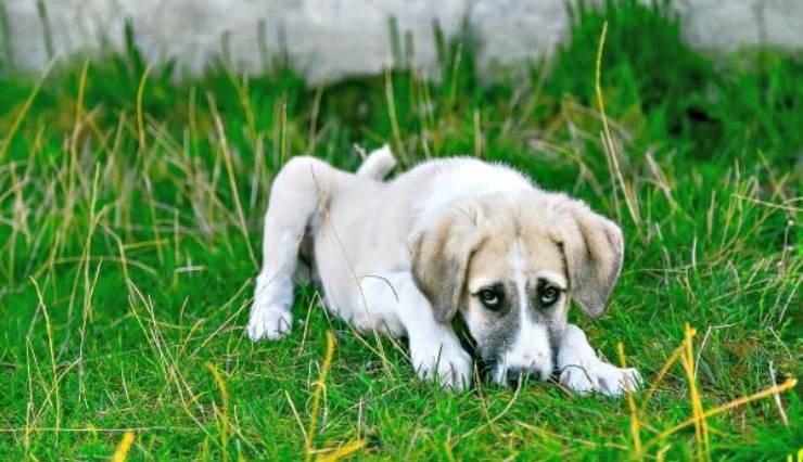 infezione da cuterebra nel cane