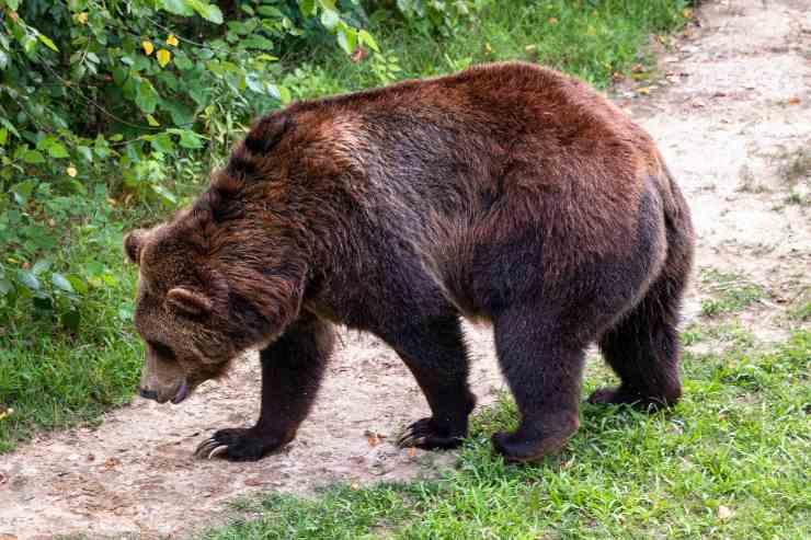 Alimenti nella dieta dell'orso