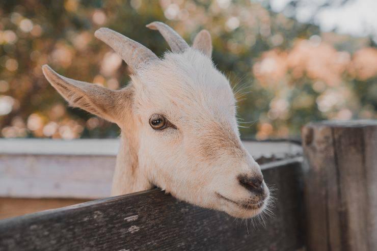 La capra e la sua dieta